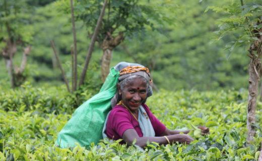 Женщина на Шри-Ланке собирает листья с чайного куста