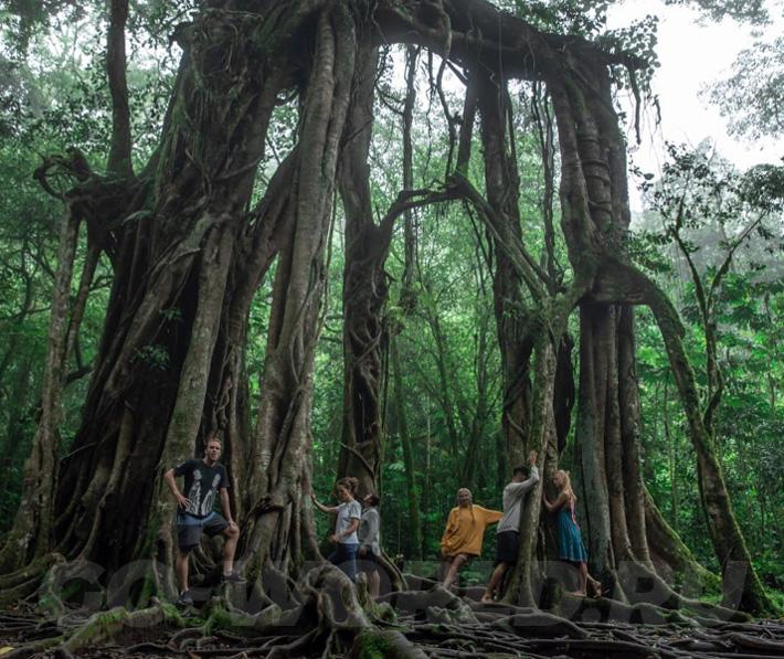 ботанический сад в кратере вулкана на Бали - гигантский фикус